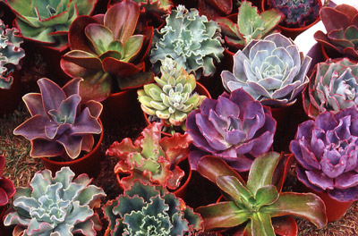 Succulent Garden Design on Dry Gardens For Dry Places